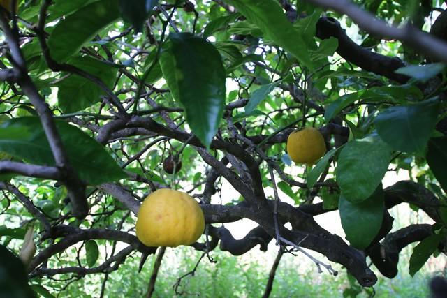 les bergamotes