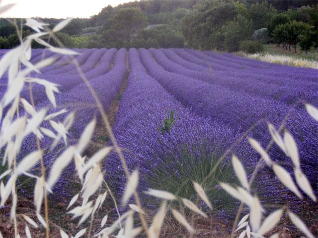 lavandin de Provence