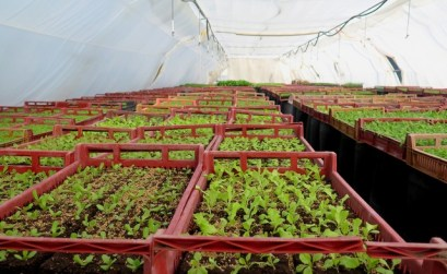 Sur le chemin de l'AMAP, les futurs plants de salade