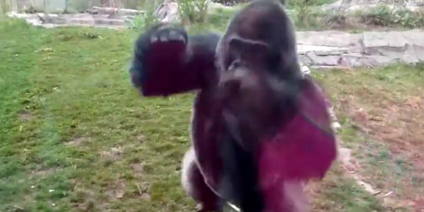 zilverrug gorilla bokito viert 20 ste
