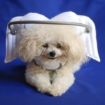 Muffin's Halo Protective Device For Blind Dogs