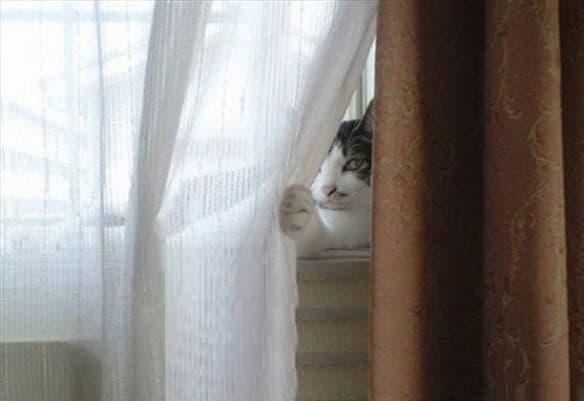 cat behind curtains