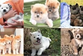 日本六大本土犬你要知! 除了柴犬還有哪些品種?