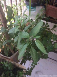 Italian Basil, Balcony Gardening, Produce of the day, Organic Herbs & Vegetables