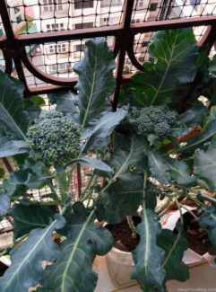 Broccoli, Balcony Gardening, Produce of the day, Organic Herbs & Vegetables