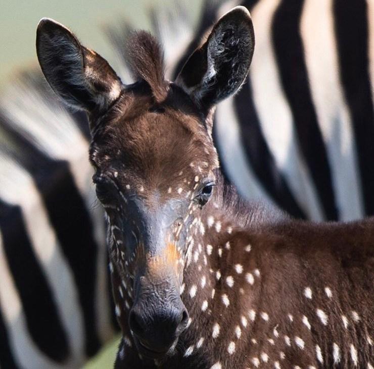 zebra scura a pois