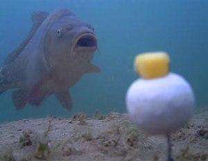les gros poissons peuvent être très méfiants devant certaines présentations