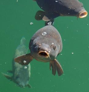 Quelques beaux poissons peuvent nager tout près de chez vous
