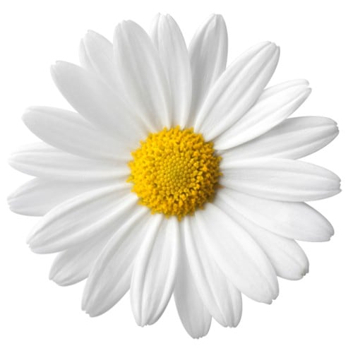 margarida-flor-12