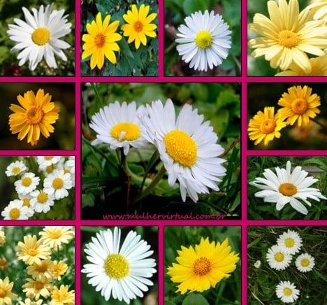 margarida- flor-foto-88