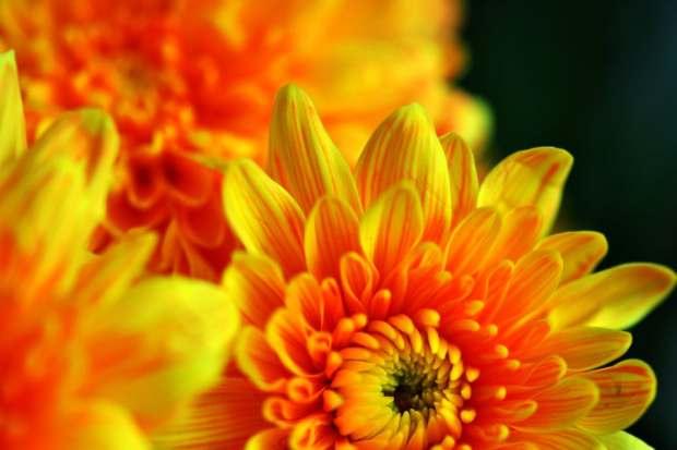 crisantemo-foto-45