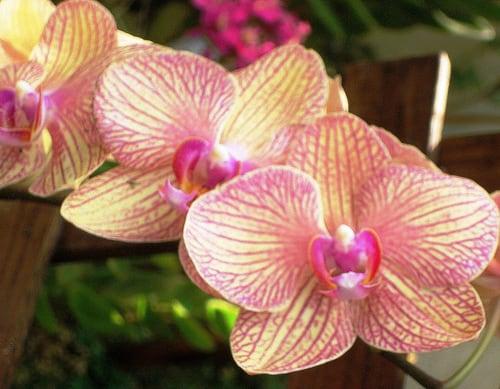 orquidea-phalaenopsis-foto-44