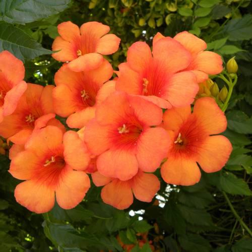flor-begonia-55
