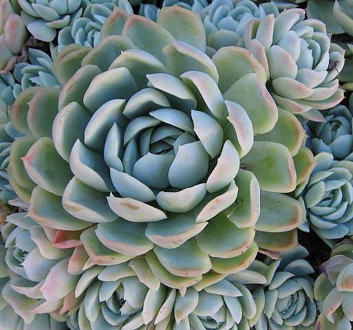Rosa de Pedra (Echeveria elegans) - Família Crassulaceae