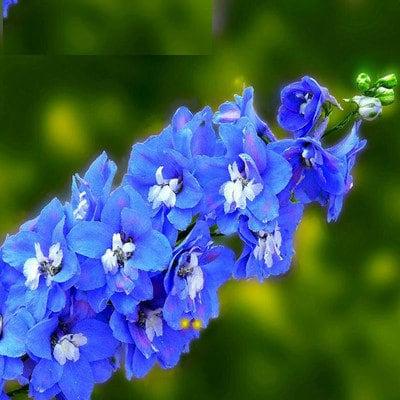 Abelha Azul ou Delfínio - Família Ranunculaceae