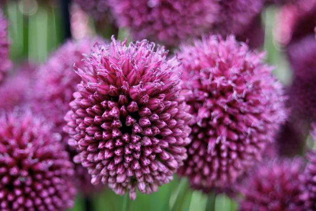 Allium schoenoprasum - Família Alliaceae
