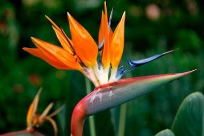 Estrelicia - Strelitzia reginae
