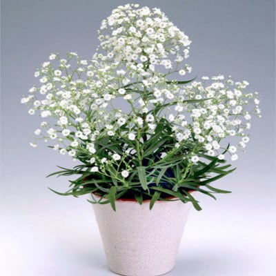 Mosquitinho ou Gypsophila Paniculata
