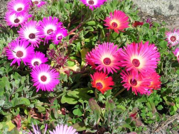ficoides-flor-34