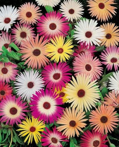 ficoides-flor-33