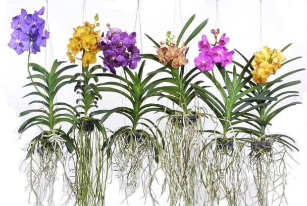 Orquidea Vanda - Familia Orchidaceae