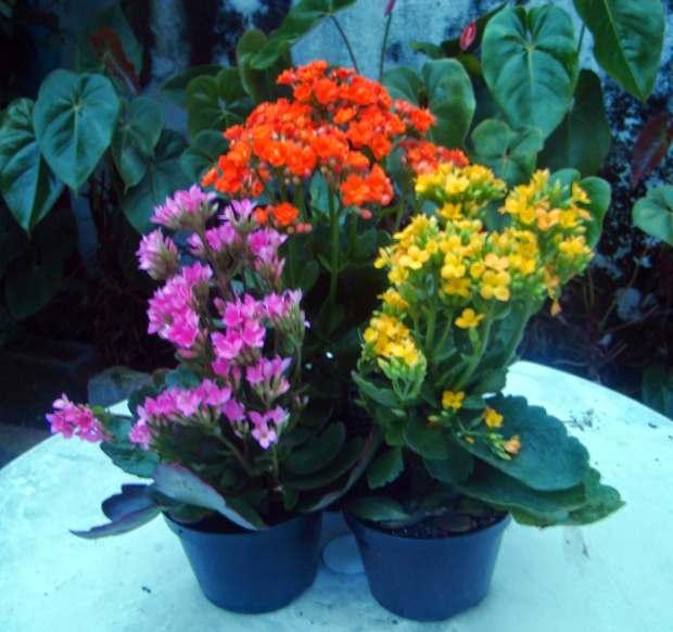 Flor-da-fortuna - Kalanchoe blossfeldiana