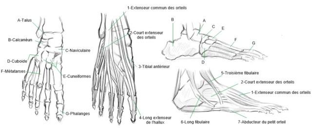 illustration anatomie pied_j