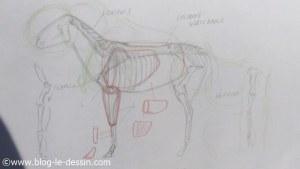 planche anatomie mesures proportions dimensions organes cheval a dessiner