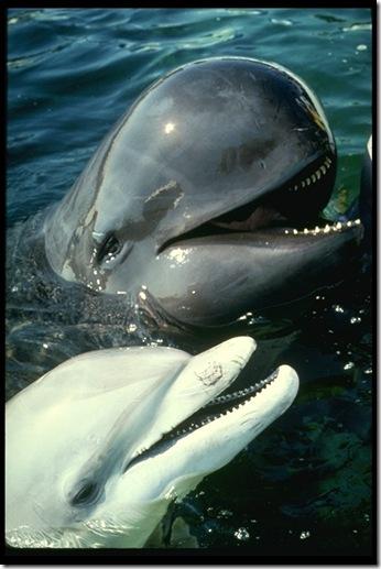 Un dauphin (albinos) et un globicéphale. Source : http://www.exzooberance.com/virtual%20zoo/they%20swim/whale/whale.htm