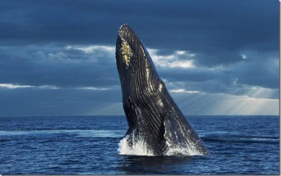 Baleine à bosse - Photo du Telegraph