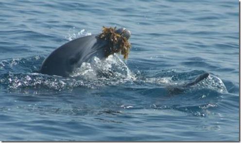 Un dauphin jouant avec une algue