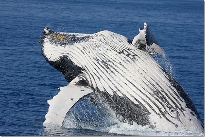 Baleine à bosses (Megaptera novaeangliae) - Photo de Michael Dawes