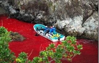 Les massacres de dauphins à Taiji se déroulent toujours...