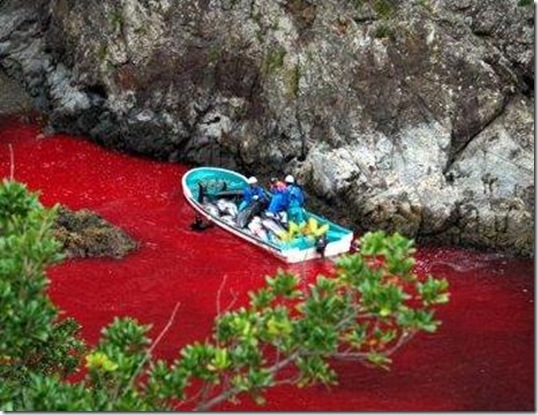 Massacres de dauphins à Taiji - La mer rouge sang