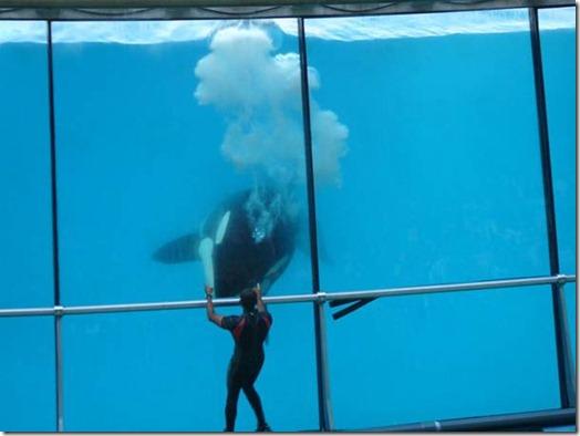 Une orque du Marineland d'Antibes, derrière la vitre de son bassin...