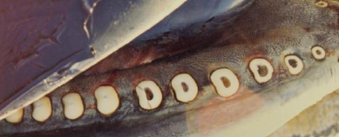 Les orques qui mangent du requin y laissent leurs dents