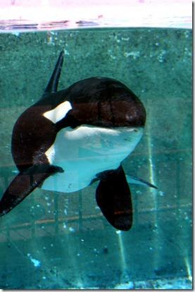 L'orque Morgane - Photo de Erwin Winkelman