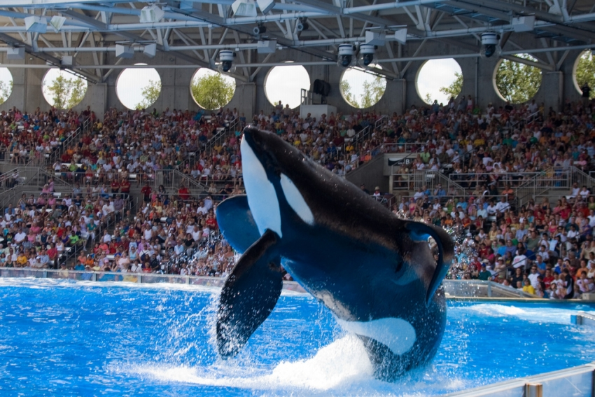 Orque captive - photo (flickr) : ngusry