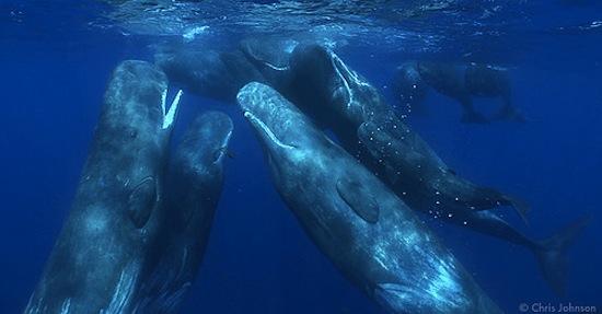 Des grands cachalots en train de socialiser - Photo de Chris Johnson
