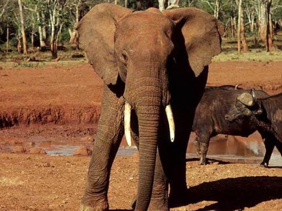 Les éléphants sont également réputés pour leur grande intelligence