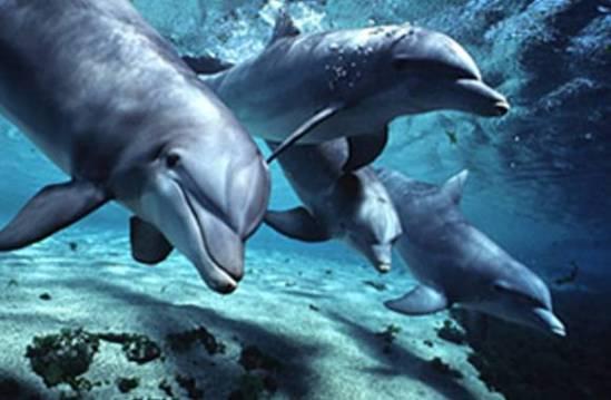 Si l'on prend la taille relative du cerveau comme étalon de mesure, le dauphin est le deuxième animal le plus intelligent de la planète