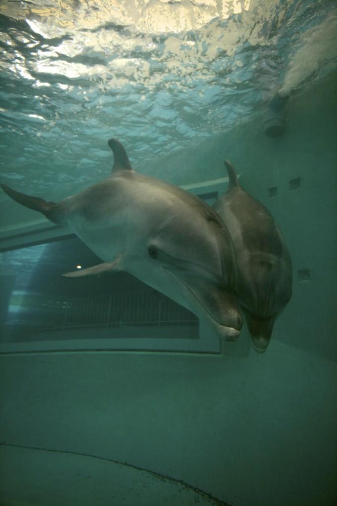 Dauphins captifs - crédit photo: Undersea Images - Vincent Kneefel