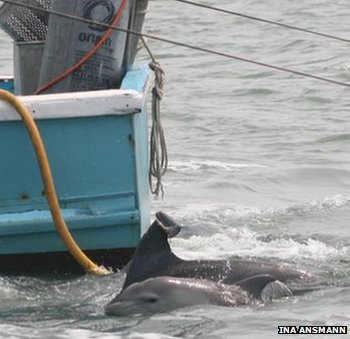"""les dauphins """"chalutiers"""" de la baie de Moreton bénéficiaient des prises accessoires rejetées par les bateaux de pêche"""