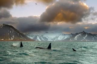 orcas-islande
