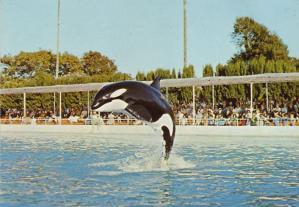 Kim, orque au Marineland