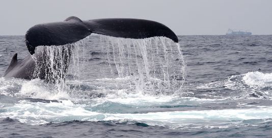 La Cour internationale de justice a ordonné, lundi 31 mars, l'arrêt de la chasse à la baleine dans l'océan Antarctique par les Japonais. | AFP/Stéphane BERRY