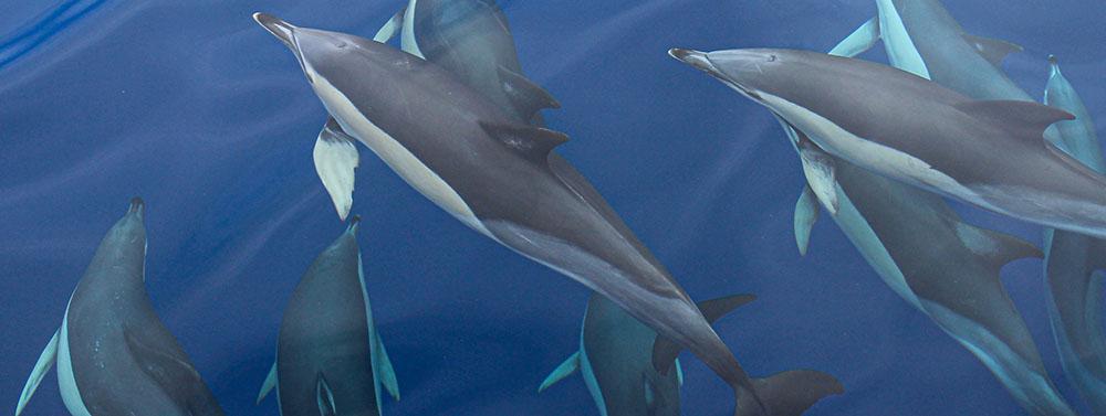 L'expédition Glacialis - Groupe de dauphins - Photo©GLACIALIS Virginie Wysss