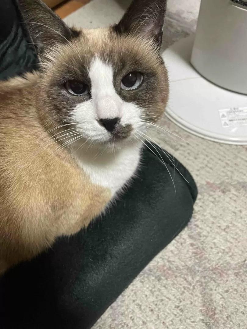 座椅子に座ってこちらをみている猫の写真