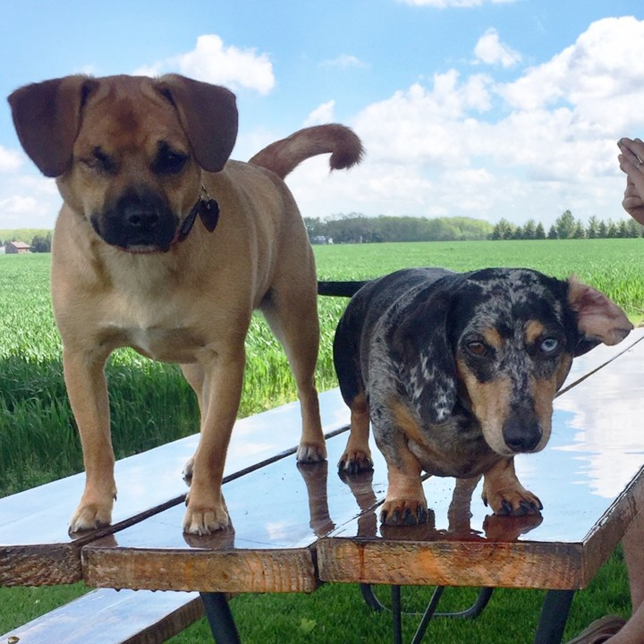 """Penny and her """"cousin"""" Otto standing on a picnic table on a sunny day with a field behind them"""