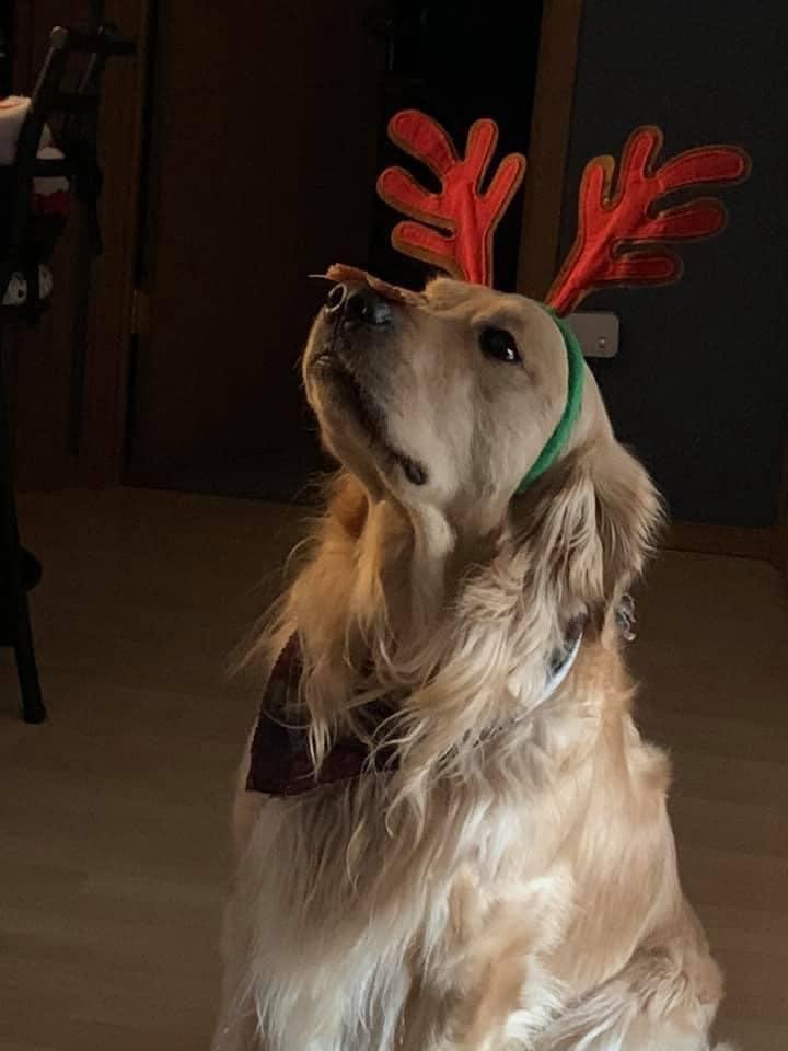 Golden Retriever wearing reindeer antlers.